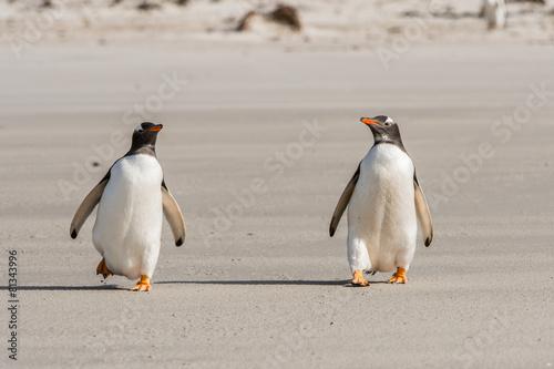 Deurstickers Antarctica Gentoo penguin on the sand, Falkland Islands