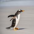Gentoo penguin on the sand, Falkland Islands