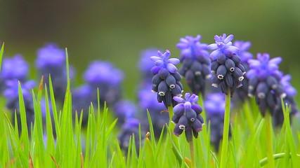 Blue spring flowers, close up.