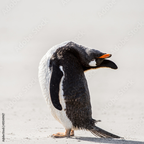 Keuken foto achterwand Antarctica Gentoo penguin cleans its feathers in Antarctica