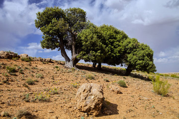 two lonely trees in the mountains of Morocco