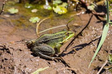 green frog Pelophylax saharicus in the wild, Morocco