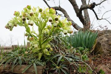 Stinkende Nieswurz,Hellborus foetidus,Frühjahrsblüher