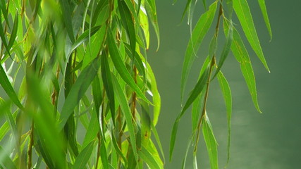 Willow branches over the water, close up.