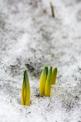 早春のスイセンの芽