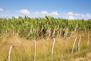 Sugarcane field, Cuba