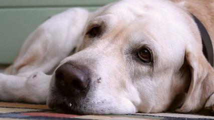 Labrador Retriever house