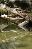 Australian Crocodile open mouth on water
