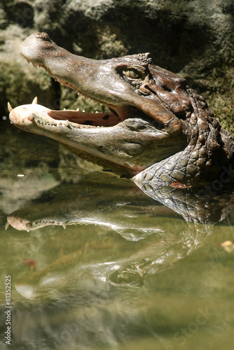 Fotobehang Krokodil Australian Crocodile open mouth on water