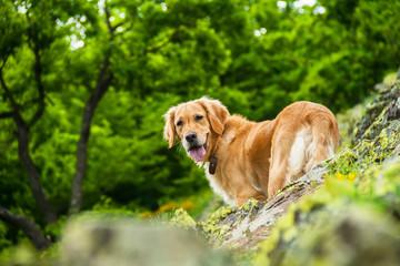 Golden Retriever Dog on a Rocky Cliff