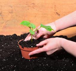 Gärtner Hände Pflanzen Erde