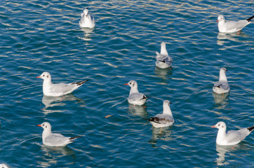flock of gulls resting on the sea of Genoa