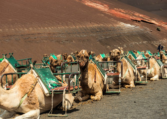 Caravan of camels in the desert on Lanzarote