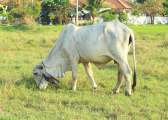 white cattle in golden wild grassland