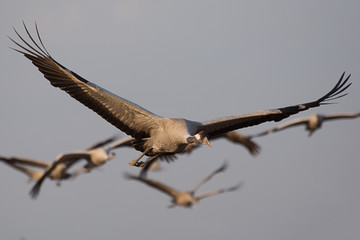 Flying grey cranes