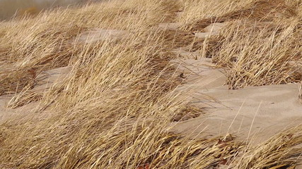 Beach Grasses in Wind