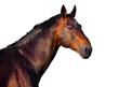 Obrazy na płótnie, fototapety, zdjęcia, fotoobrazy drukowane : Portrait of a dark brown horse on a white background