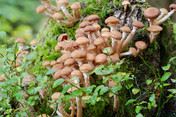Honey fungus Mushrooms