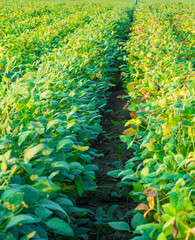 Soybean field ripe just before harvest, agricultural landscape