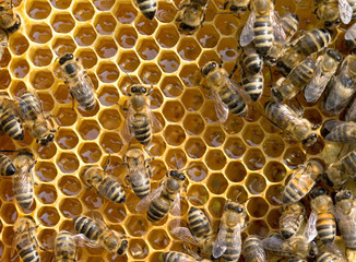 bees swarming on a honeycomb