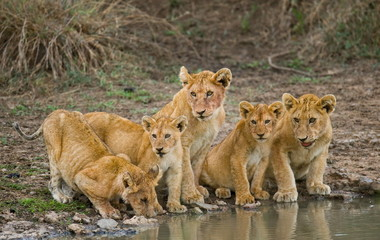 Five young lions drink water. Tanzania. Serengeti.