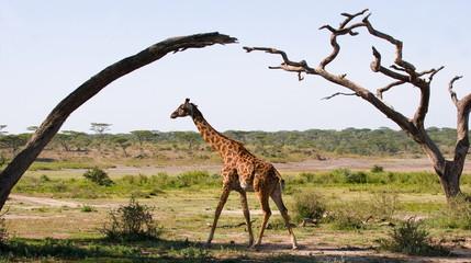 Giraffe in the savanna. Under the bridge of the trees.