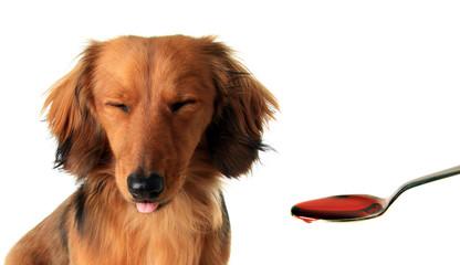 Dachshund puppy and medicine.