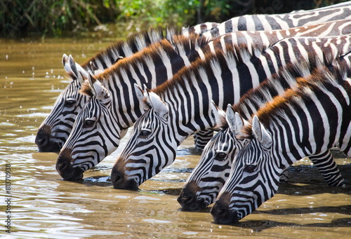 Canvas Zebra Zebras drinking water. Tanzania.