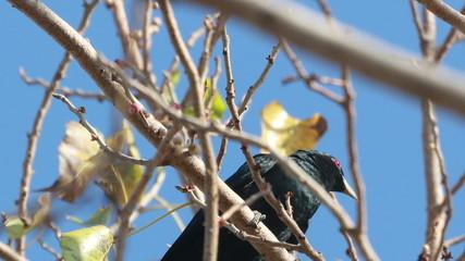 Asian Koel Male on tree