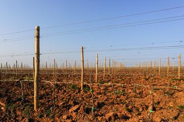 Plantage mit neuen Weinstöcken