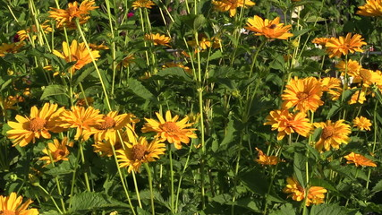 Yellow daisy flowers bush with lot of blooms grow in garden