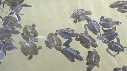 Baby turtles swimming in Turtle Hatchery - Sri Lanka