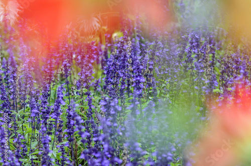 Tuinposter Lavendel Lavendel
