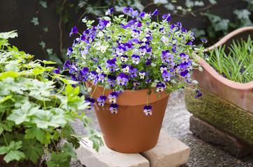 Hornveilchen Viola Garten