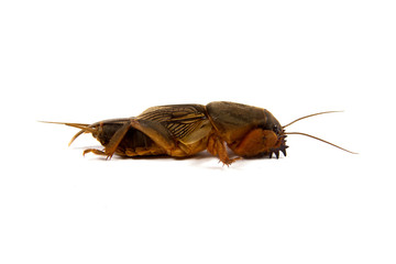 the mole cricket