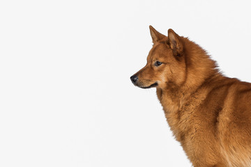 Finnish spitz portrait, isolated on a white background