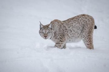 Lynx, hunting in deep snow