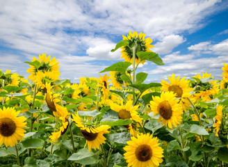 Sun flowers :)