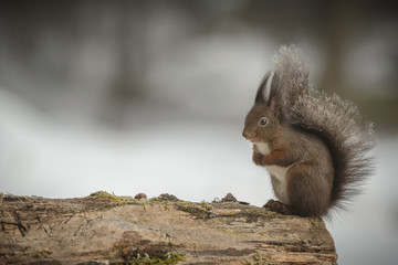 Red squirrel with frosty tail