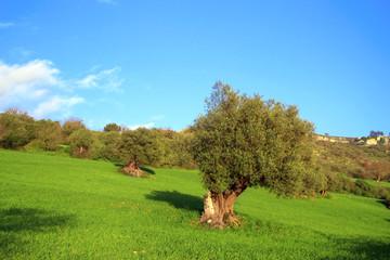 Collina con alberi di ulivo secolari