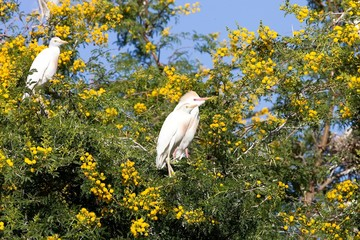 Cattle Egret, Bubulcus ibis nests to Morocco