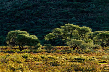 Trees in late afternoon light, Mokala National Park
