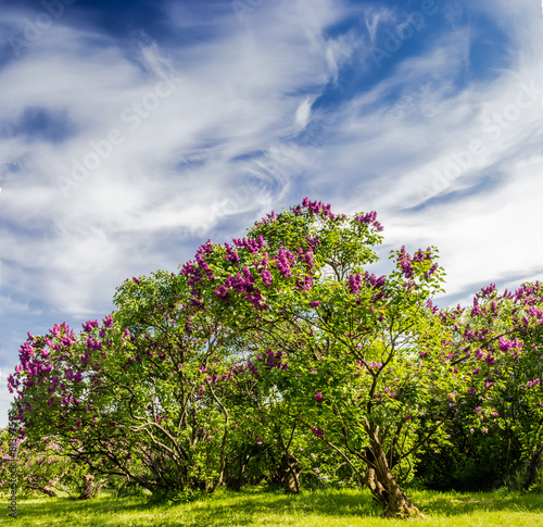 Foto op Canvas Lilac Lilac bushes and trees