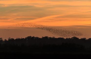 Murmuration of starlings, North Yorkshire