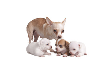 Chihuahua mother and her puppies
