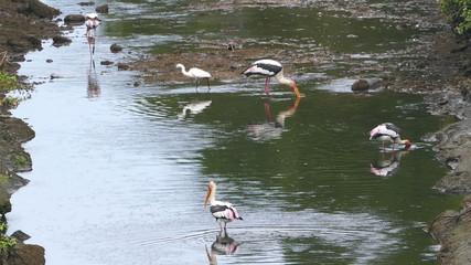 Painted Stork (Mycteria leucocephala) birds hunting in lake - Sr