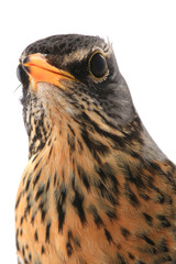 portrait thrush