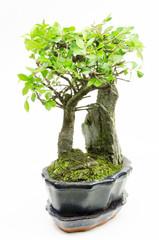 bonsai, chinese elm (vertical)
