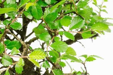 bonsai: chinese elm close-up leafs