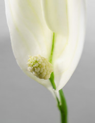 young spathiphyllum macro